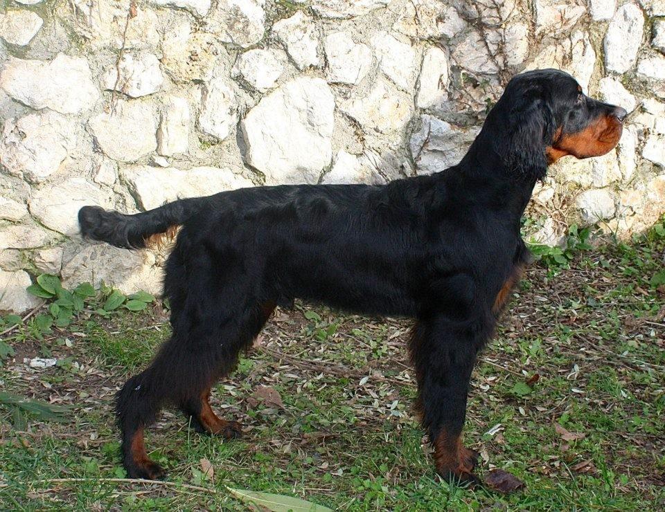 Adozione cani da caccia roma s o s cani da caccia for Cane setter