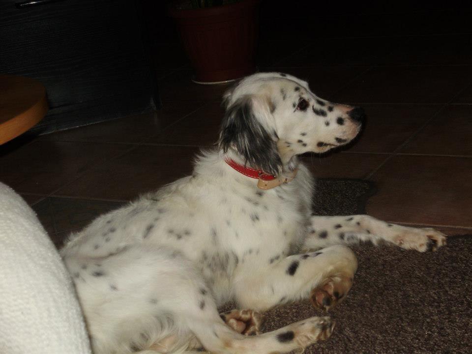 Adozione Cucciolo Setter Emilia Romagna Sos Cani Da Caccia