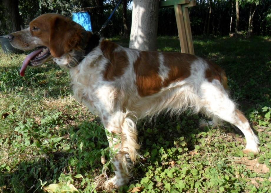 Breton adozione canili s o s cani da caccia for Cani da tenere in casa