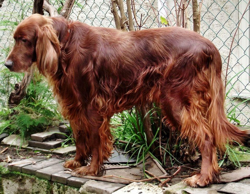 Setter irlandese adozione s o s cani da caccia for Setter irlandese carattere