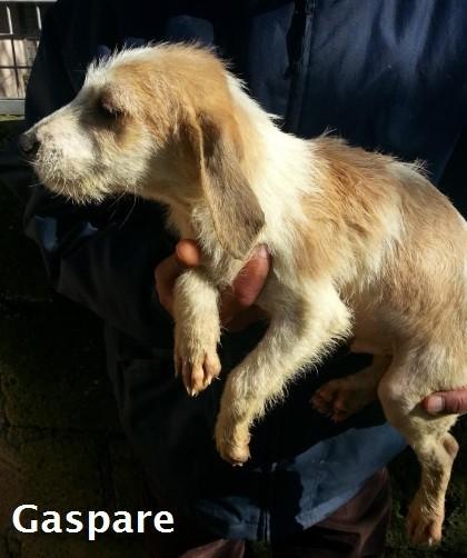 Cuccioli Incrocio Beagle Spinone Sos Cani Da Caccia