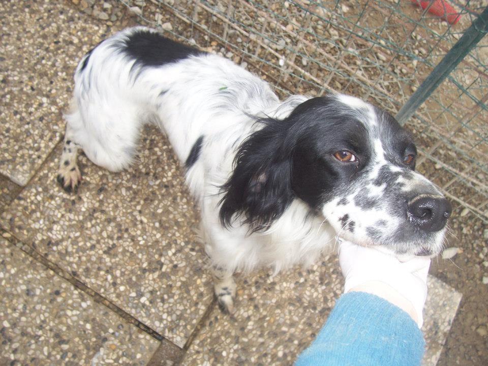 Setter inglese adozione canili s o s cani da caccia for Affettuoso in inglese