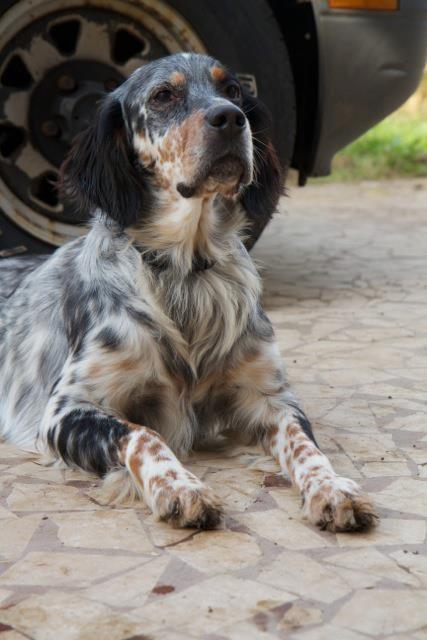 Setter inglese adozione napoli s o s cani da caccia for Ombra in inglese
