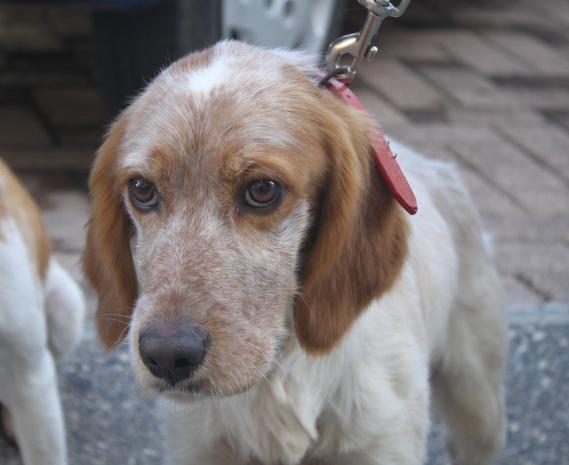 Incrocio breton s o s cani da caccia for Setter carattere